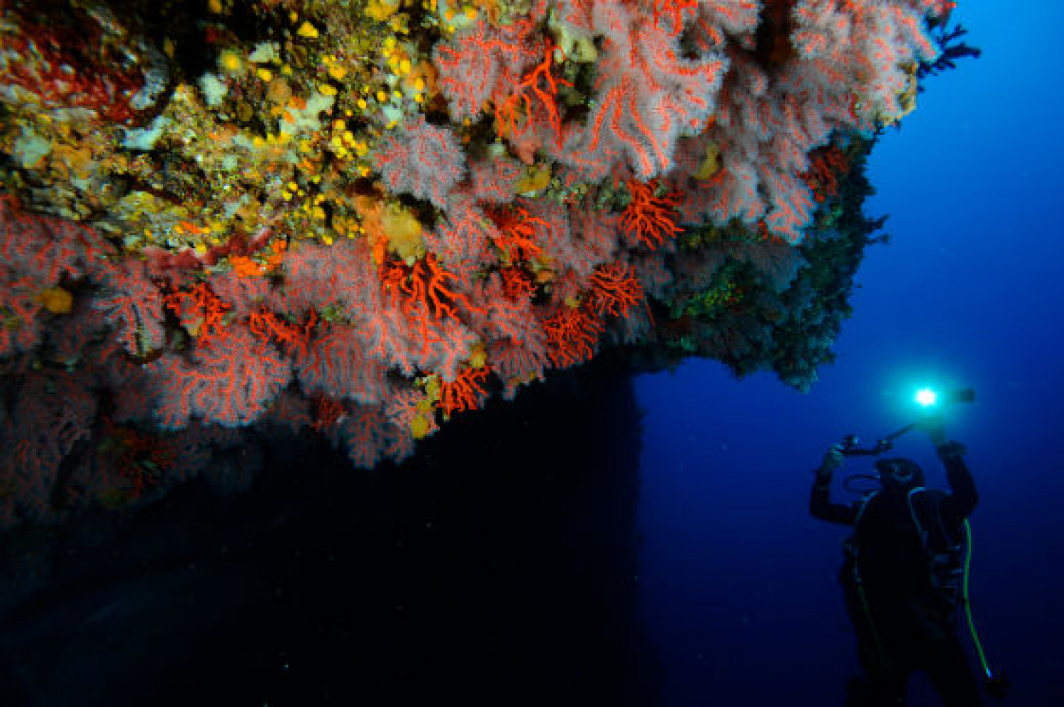 A researcher observing Red Gorgonia on a dive (Image: Joaquim Garrabou)