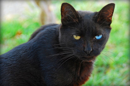 A black cat with two different coloured eyes (by Chris Yarzab, flickr)