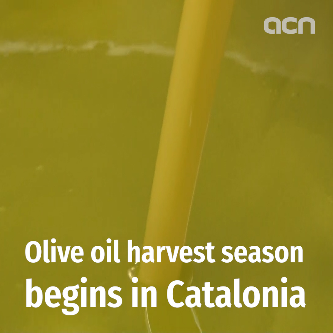 Olive oil harvest season begins in Catalonia