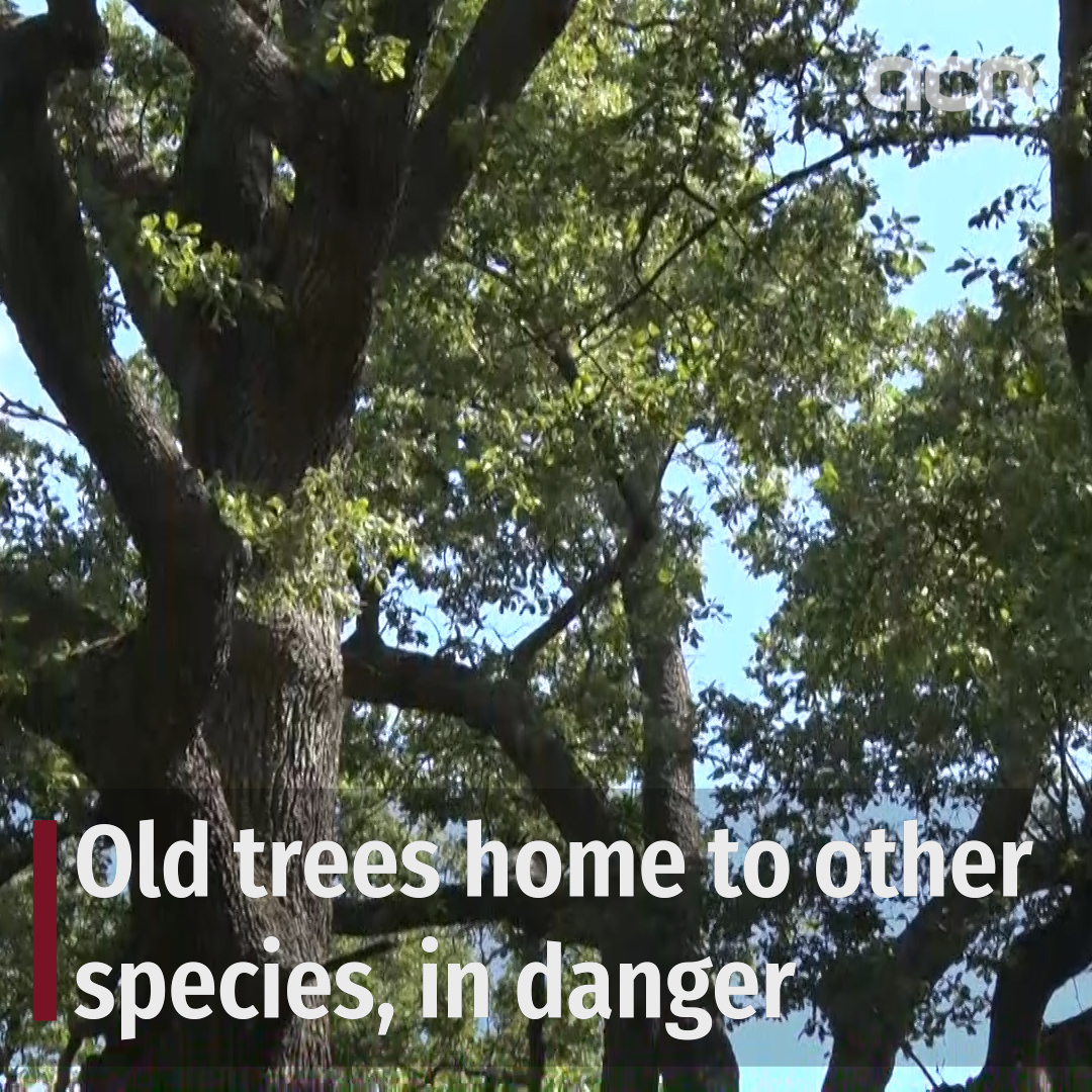 Old trees home to other species, in danger