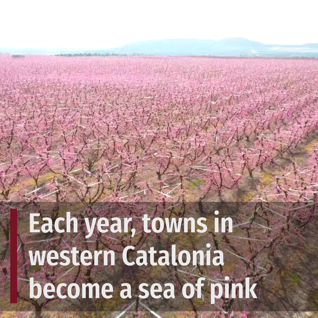 Towns in western Catalonia become a sea of pink