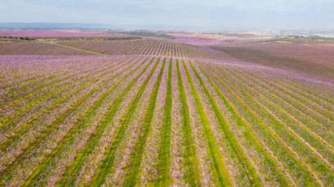 The fields of Aitona full of flowering peach and nectarine trees in March 2019 (by ACN)