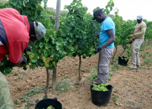 Wine harvest season at Celler Gramona in Penedès (Àlex Recolons/ACN)