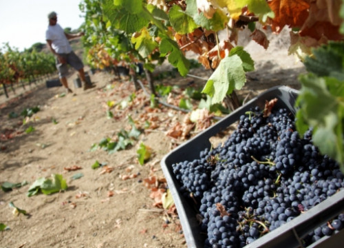 Harvesting grapes at the Alta Alella winery (by J. Pujolar)