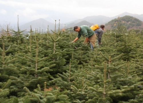 Christmas tree growers in Sant Hilari Sacalm (by T. Tàpia)