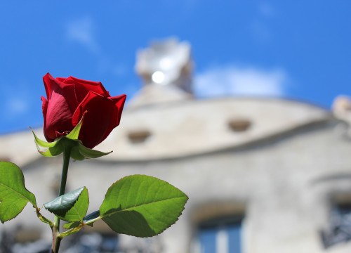 Close up of a rose with Gaudí's 'La Pedrera' on the background (by ACN)