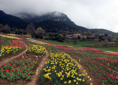 150,000 tulips planted in Coforb (Berguedà), rural northern Catalonia (by Mar Martí)