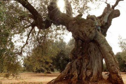 An olive tree from Catalonia