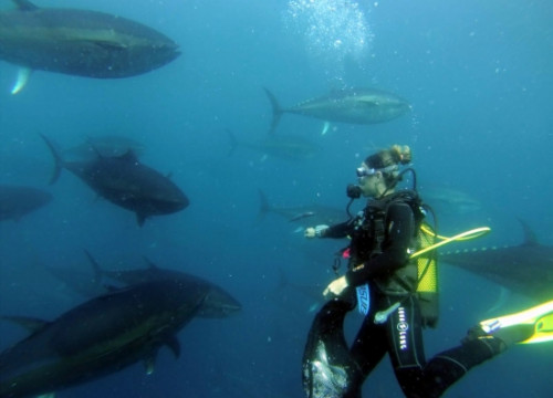 Scuba diving with Atlantic bluefin tuna near the Catalan town of L'Ametlla de Mar, on the Costa Daurada (by Grup Balfegó)