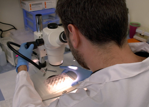 Researcher in the laboratory using the microscope (by ACN)