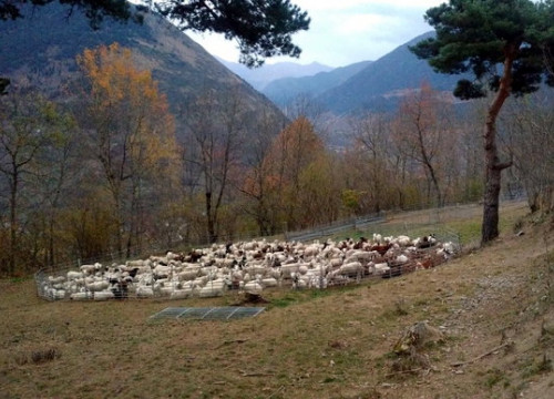 Sheep in a pen in the Catalan countryside to protect them from bears (September 14 courtesy of the Catalan government)