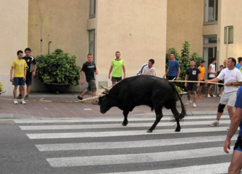 A bull tied to a rope in the Ebro Delta area (by ACN)