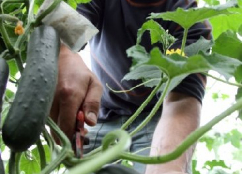 A farmer from the Maresme county picking up cucumbers (by J. Pujolar)