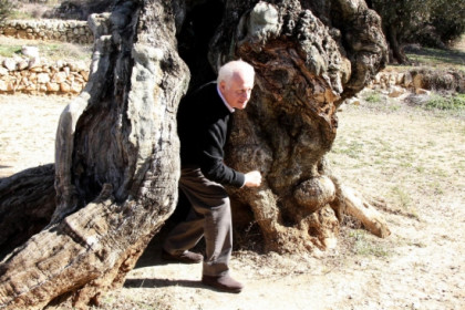 The Spanish actor, Juan Echanove, an ambassdor of these olive trees, one thousand years old (by J. Marsal)
