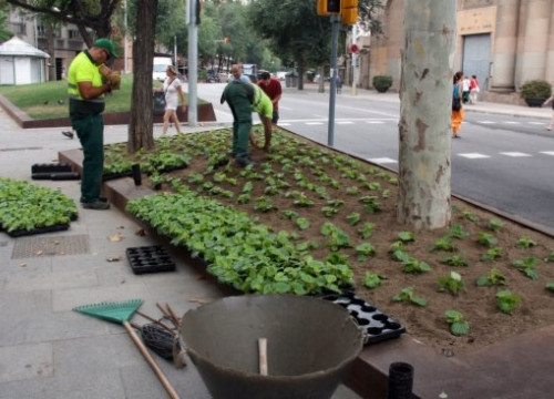 Barcelona takes the opportunity during the summer to renovate its ornamental flowering plants (by J. Casado)