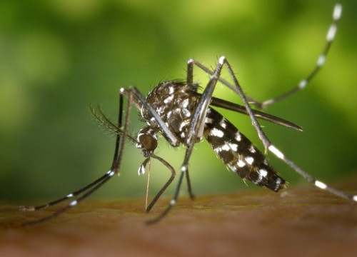 The mosquito that transmits Zika (by ACN)