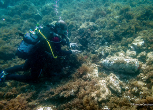 A diver examining the shell found close to Illes Formigues, in Costa Brava (by Ramon Casabayó)