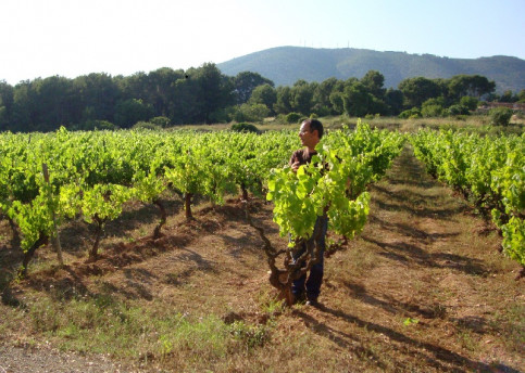 A vineyard in the Catalan county of Garraf.