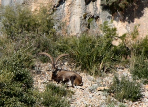 Wild Iberian goats at Els Ports natural park, in southern Catalonia (by ACN)