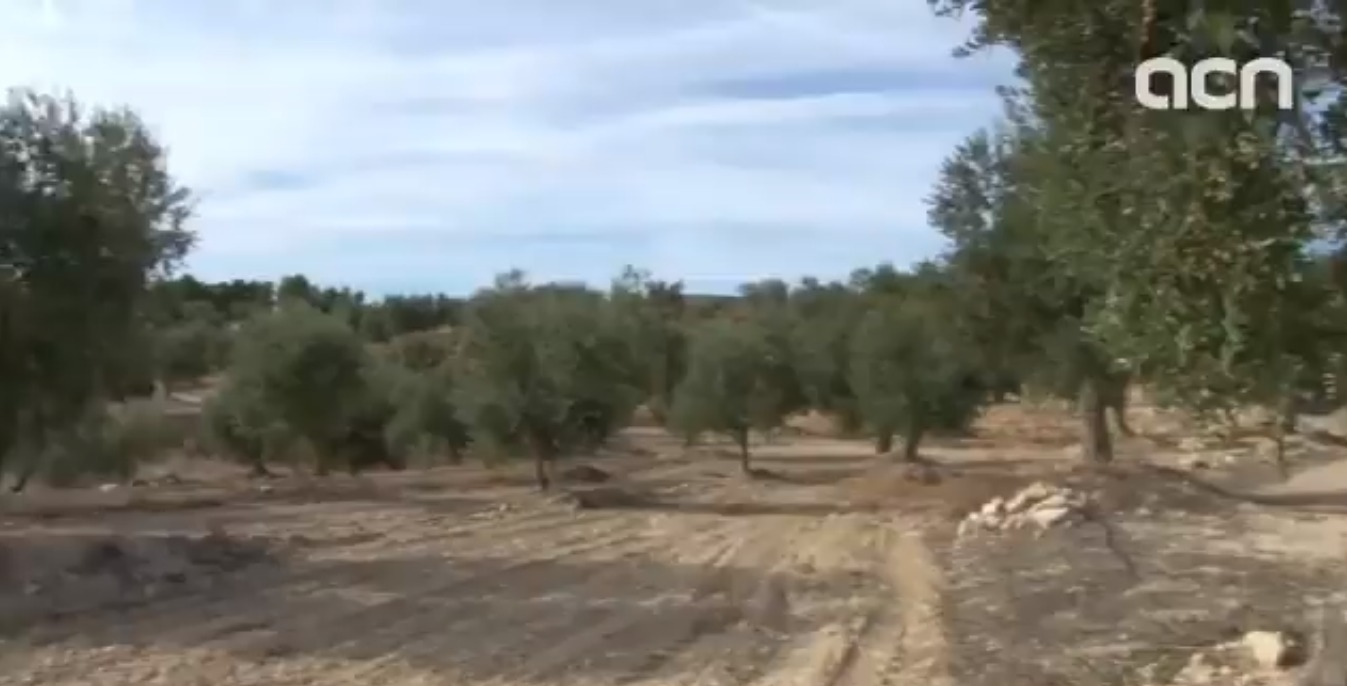 A good year for olive oil production despite droughts