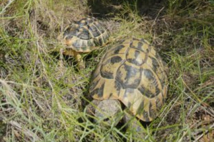 Two specimens of Mediterranean tortoises released at the Garraf Natural Park (by CRAC)
