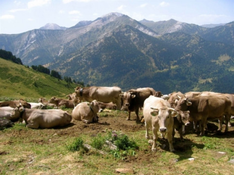 "The ""brown cows"", a species from the Pyrenees mountains (by ACN)"